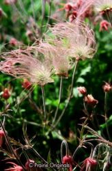 Three Flowered Avens with seed