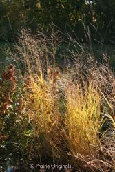Switchgrass in fall