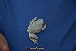 Copes Grey Tree Frog