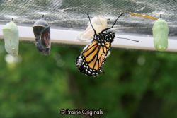 chrysalis hatching 4