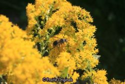 Wasp Pollinator on Showy Goldenrod