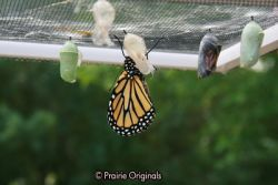 chrysalis hatching 6