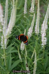 Red Admiral Butterfly on Culver's Root