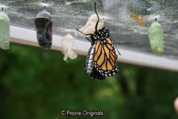 chrysalis hatching 5