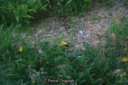 Goldfinches on Three Flowered Avens