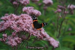 Red Admiral on Joe Pye