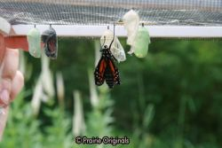 chrysalis hatching 2
