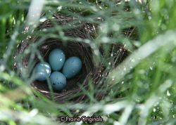 Bird Nest in Harebell