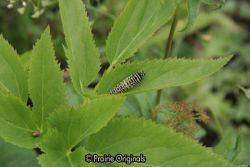 Black Swallowtail Butterfly caterpillar, teenage enstar