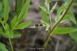 Black Swallowtail Butterfly caterpillar, early enstar