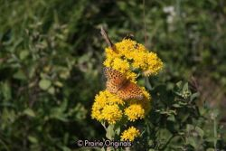 Fritillary on Stiff Goldenrod