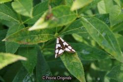 Reversed Haploa Moth on Turtlehead