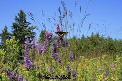 Black Swallowtail on Giant Hyssop