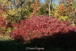 Red Osier Dogwood in fall