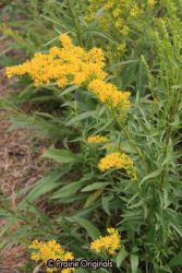 Low Goldenrod